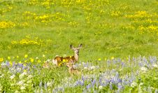 Free Mother Deer With Twins In Field Of Wildflowers. Royalty Free Stock Photography - 21493647