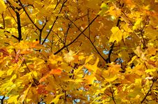 Free Close-up Golden Leaves Stock Image - 21495171