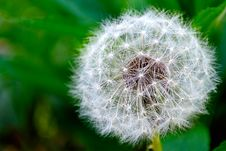 Free White Dandelion Royalty Free Stock Images - 21496539