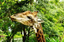 Free The Giraffe Stock Photography - 21497872