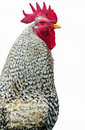 Free Rooster Stock Photography - 2151092