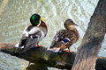 Free Ducks Couple Royalty Free Stock Image - 2152106