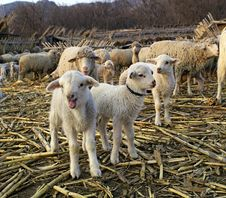 Free Three Little Lamb Royalty Free Stock Image - 2150996