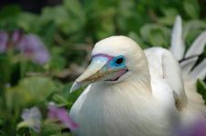 Free Red Footed Booby Stock Image - 2152101