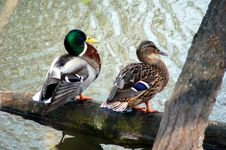 Free Ducks Couple Royalty Free Stock Image - 2152106