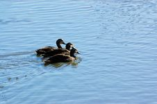 Free Three Ducks All In A Row Royalty Free Stock Images - 2153889