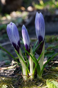 Free Small Crocuses Stock Image - 2154711