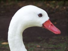 Free Goose Stock Photography - 2154712