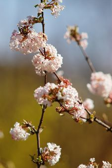 Spring Pink Blossom Royalty Free Stock Image