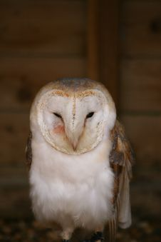Free Barn Owl Royalty Free Stock Images - 2155559