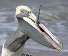 Free The Greedy Pelican Royalty Free Stock Photography - 2156267