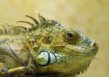 Free Iguana Stock Images - 2156854