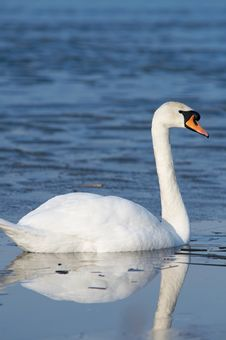 Free Swan Stock Photos - 2157493