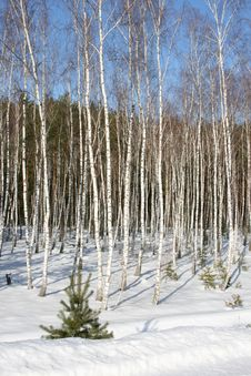 Free Birches Stock Images - 2158144