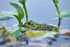 Free Green Frog 2 Stock Images - 2159604