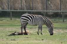 Free Zebras Royalty Free Stock Photo - 2159755
