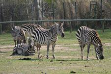Free Zebras Stock Photos - 2159833