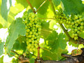 Free Vineyard With Clusters Of Grapes. Royalty Free Stock Photos - 21506318