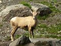 Free Rocky Mountain Bighorn Sheep Stock Images - 21509224