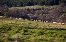 Flock Of Sheep At Pasture Stock Images