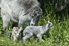 Free Goat And Her Kids Stock Photography - 21500752