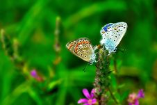 Free A Pair Of Butterflies Royalty Free Stock Photo - 21501405