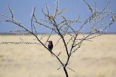 Free Lilac-breasted Roller, (Coracias Caudatus), Etosha Royalty Free Stock Image - 21502826