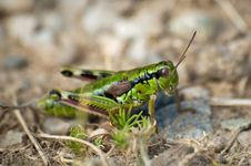 Free Grasshopper Closeup Stock Photography - 21503522