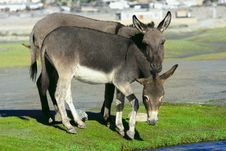 Free Donkey On Farm Royalty Free Stock Photos - 21504458