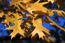 Free Maple Tree Stock Photography - 21504652