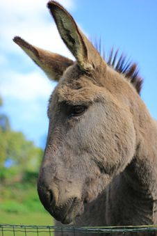 Free Donkey Royalty Free Stock Photos - 21505938