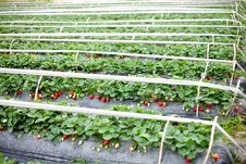 Free Greenhouse For Strawberries Stock Image - 21509661