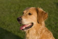 Free Portrait Of A Golden Retriever Dog Royalty Free Stock Images - 21509699