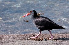 Free The Oyster Catcher Bird Royalty Free Stock Images - 21512359