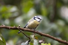 Bluetit On A Perch. Royalty Free Stock Photos
