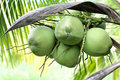 Free Coconut Stock Images - 21522984