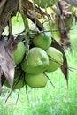 Free Coconut Stock Photo - 21523090