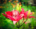 Free Pink Lily Flowers Stock Photo - 21523350