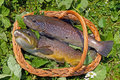 Free Trouts Royalty Free Stock Photos - 21527798