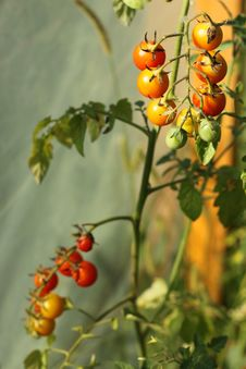 Cherry Tomatoes In Greenhouse Stock Photos