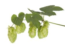 Free Fresh Hop Stock Photos - 21522813