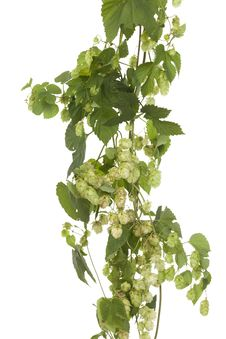 Free Fresh Hop Stock Photography - 21522852