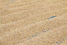 Free Paddy Drying Stock Image - 21524491