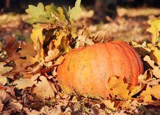 Ripe Orange Pumpkin In Foliage Royalty Free Stock Photos