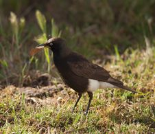 Free Pied Starling Stock Images - 21526444