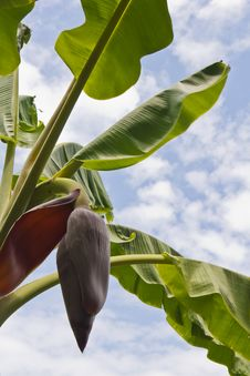 Free Banana Flower Against Sky Royalty Free Stock Photo - 21528705
