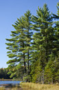 Free Evergreen Trees By A Lake Stock Image - 21537381