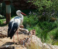Free White Stork Royalty Free Stock Images - 21534749
