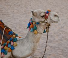 Free Camel Royalty Free Stock Image - 21537266