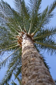 Free Date Palm Royalty Free Stock Photo - 21537295